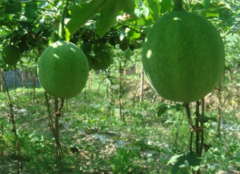 瓜蒌是什么东西 瓜蒌怎么吃才对呢