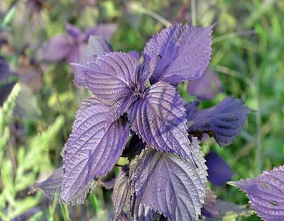 紫苏叶泡水都有什么功效 能预防什么病
