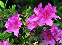 杜鹃花象征着什么意思 杜鹃花什么时候开花