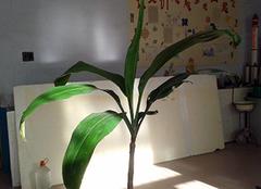 巴西木的正确养殖技巧 献给爱养植物的你