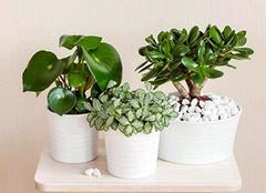 缺木的人適合養什么植物 給你綠意盎然的家