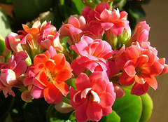 长寿花只长叶子不开花 长寿花怎么养才能爆盆