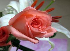 粉玫瑰花语是什么 简单给大家介绍一下