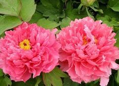 牡丹花的寓意和花语是什么 国色天香一展颜容