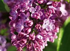 丁香花有哪些花语和传说 长相情思赠佳人