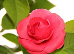 山茶花的花语是什么 绽放凌艳之美
