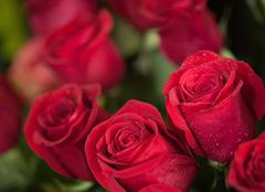 各种颜色玫瑰花的含义 为你营造浪漫生活