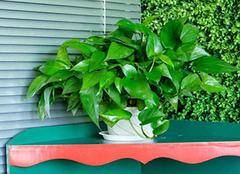 花叶绿萝如何养殖 三个要素不能少