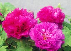 牡丹花的寓意和花语是什么 富贵带来繁华美