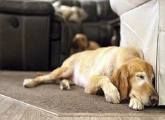 地毯上的狗尿怎么去除 实用贴为你解忧
