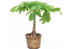 发财树怎么摆放能旺财 需要注意哪些方面呢