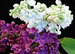 丁香花花语和传说是什么 为你带来丁香一样的芬芳