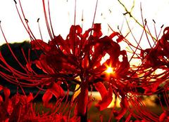 曼珠沙华的花语是什么 感受轮回永不见的凄美