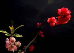 海棠花有多少品种 海棠花有几种呢