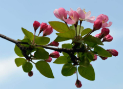 海棠花代表什么意思 海棠花的花语是什么呢