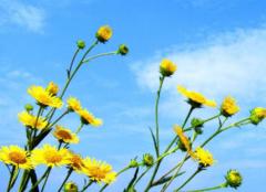 菊花和野菊花一样吗 野菊花和菊花的区别详解