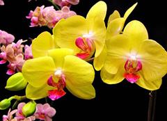 蝴蝶兰什么颜色名贵 怎么养才能开花