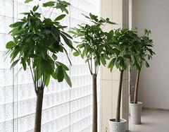 六种室内常见的大型盆栽植物 教你怎么养殖