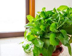 绿萝的养殖方法是什么 有哪些注意事项