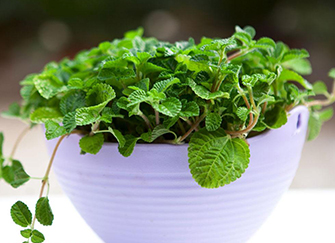 吸毒草养殖方法有哪些 净化你家中的环境