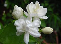 茉莉的花语是什么 羽落凡尘幽然香