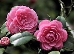 山茶花的花语是什么 有哪些故事传说