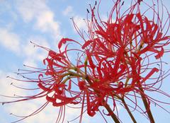 曼珠沙华的花语是什么 领略绝美的爱情故事