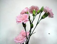 康乃馨的功效与作用  康乃馨花茶有副作用吗?