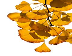 银杏叶片的功效与作用   银杏叶片有哪些副作用