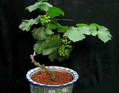 学会盆栽葡萄的种植技术  让你家阳台变成果园