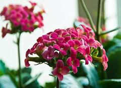 长寿花的养殖方法分析 它一般多久浇一次水