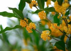 桂花什么时候开 桂花开在什么季节呢