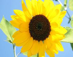 向日葵花语  10支向日葵花语是什么呢?
