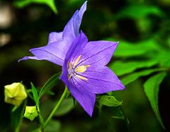 桔梗花花语是什么   不同颜色的桔梗花花语