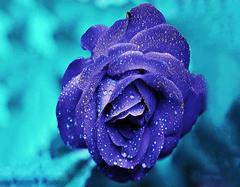 蓝色妖姬花语是什么   21朵蓝色妖姬花语是什么