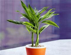 植物风水有学问 养好这28种花草带来财运