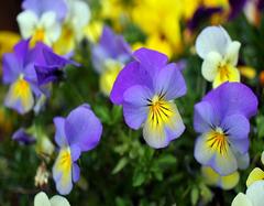 三色堇的花语 不同颜色三色堇的花语大全