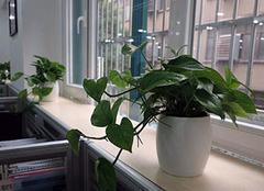 风水植物应该放在办公桌什么位置 有哪些禁忌呢