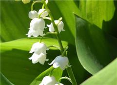 室内驱蚊虫植物盆栽有哪些 最有效的驱蚊虫植物排行榜