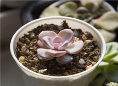 多肉植物雪莲怎么养殖 如何繁殖呢