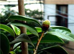  家中盆栽茶花花蕾迟迟不开原因 养护方法正确吗