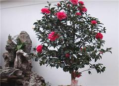 盆栽茶花品种怎么选择 如何养殖好呢