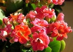 长寿花放哪里风水会好 家里长寿花怎么养
