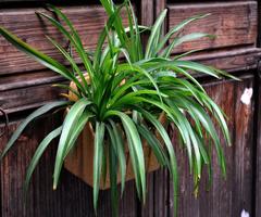 什么植物防辐射好 绿萝、芦荟、吊兰你更偏爱哪一个?