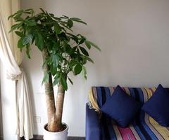客厅种什么植物风水好 金钱树、君子兰你钟爱哪一款