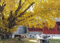 庭院适合种什么观景树 种这些好看又吉利