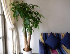 客厅摆放什么植物招财 客厅养什么植物风水好呢