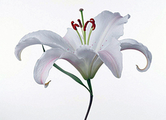 百合花要怎么种植 百合花的花语是什么
