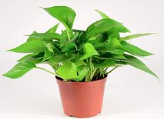 办公室风水植物有哪些 老板办公室放什么植物