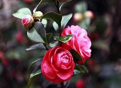 能在冬天开花的植物有哪些 冬天冻不死的常绿植物推荐